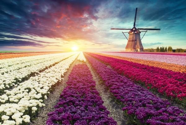 Veterný mlyn a tulipánové pole Holandsko