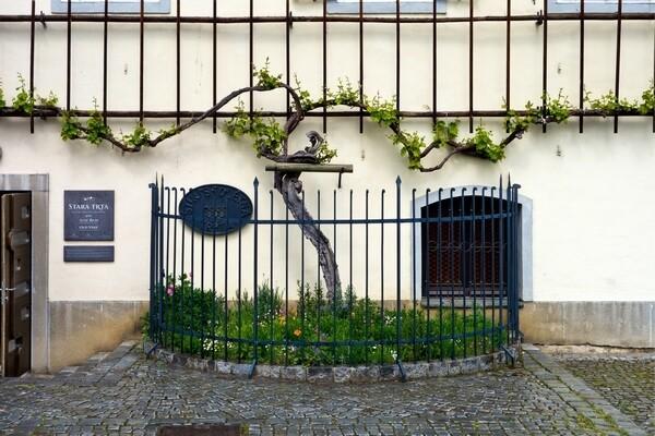Najstaršia vínna réva na boku domu v Maribore