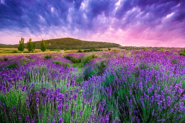 Fialové levandulové pole pri západe slnka